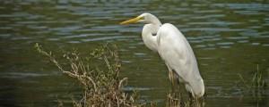 Sortie : Comptage des oiseaux d'eau hivernants
