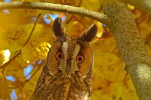 Talant – Réunion naturaliste : enquête nationale sur les rapaces nocturnes