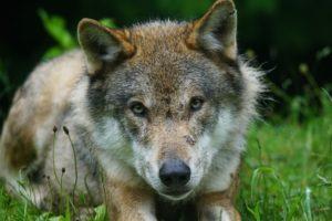 Conférence «Les loups, biologie d'un mythe»