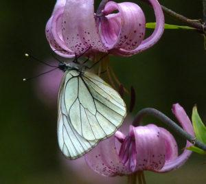 Talant – Conférence : «Les papillons communs de Côte-d'Or»