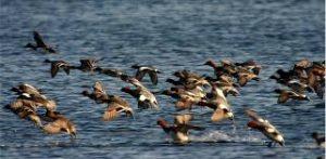 Découverte des oiseaux hibernants du lac Kir