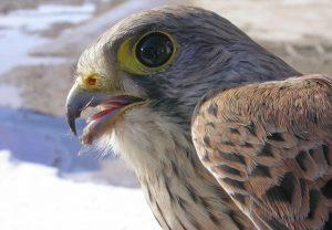 Conférence – Le Faucon Crécerelle