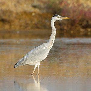 Comptage des oiseaux d'eau hivernants