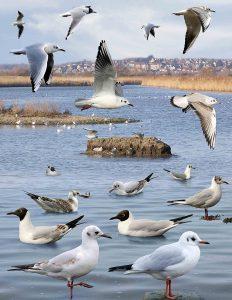 Permanence « oiseaux hivernants » au lac Kir